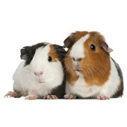 Buy Healthy Guinea Pigs for Sale in Jaipur at Affordable Price
